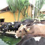 ペルー・カハマルカの名産品・牛乳とチーズの観光スポット・コルパ Hacienda La Colpa