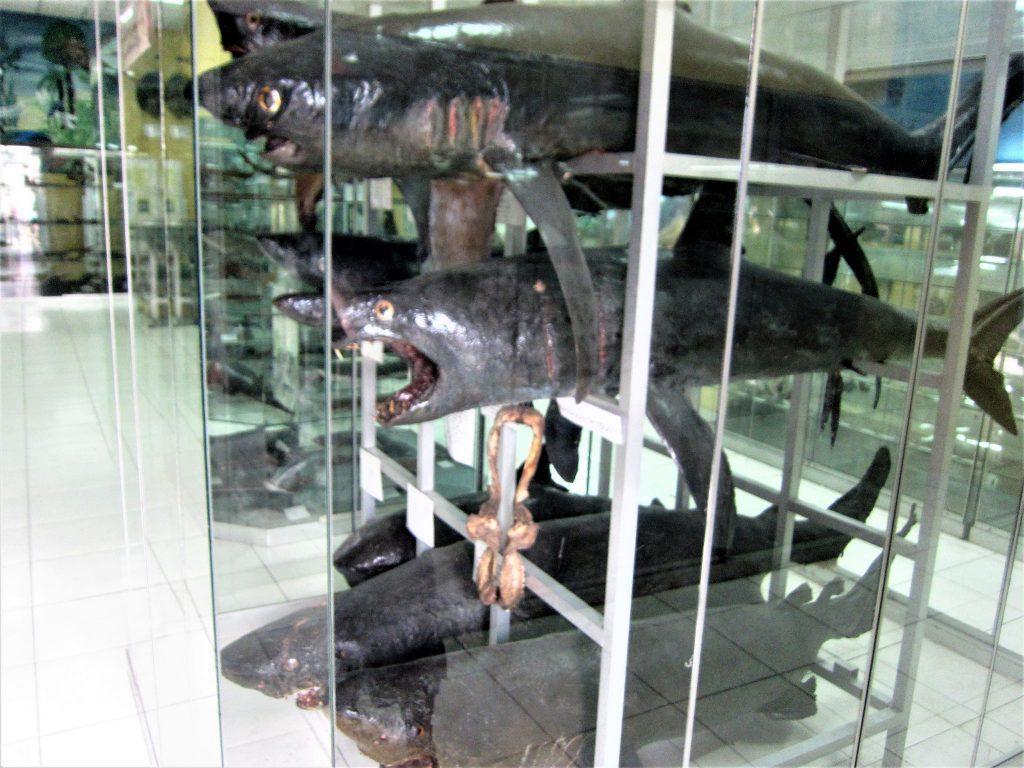 ペルー、博物館、観光、剥製