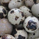 ペルー、料理、うずら、卵