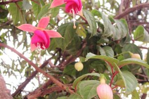 ペルー、クスコ、花