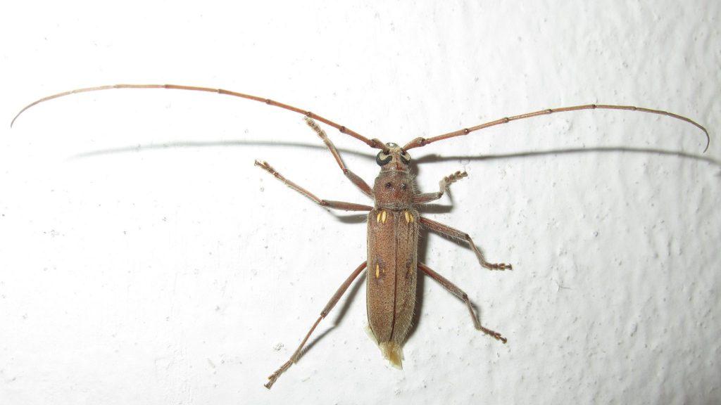 ペルー、チクラーヨ、虫