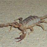 ペルー・チクラーヨの近くの村に住んでいた時に出た虫!家に侵入してくるサソリ!あなたは耐えられますか!?
