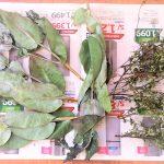 デング熱、ジカ熱、チクングニヤ熱を防御する天然の虫除けがすごい!南米ペルー健康保健庁、考案の天然素材の虫除け!