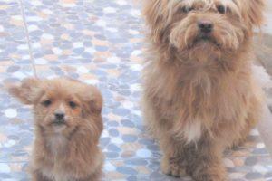 ペルー、海外生活、ペット、犬