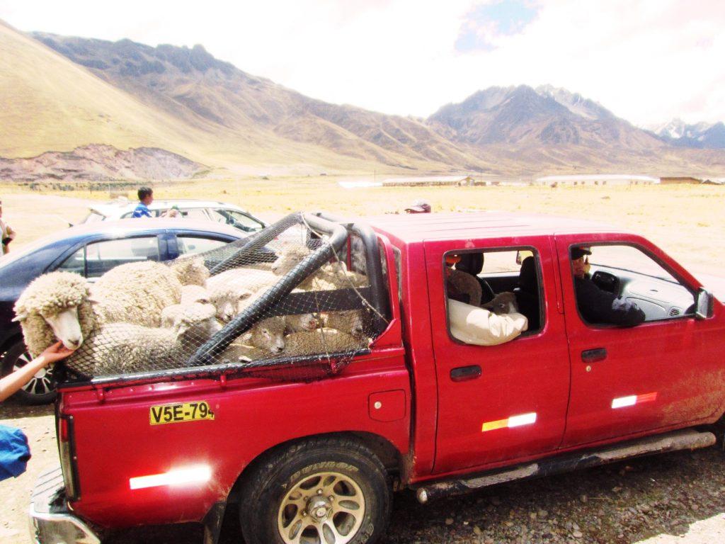 ペルー、クスコ、観光スポット、温泉、アンデス、動物、羊