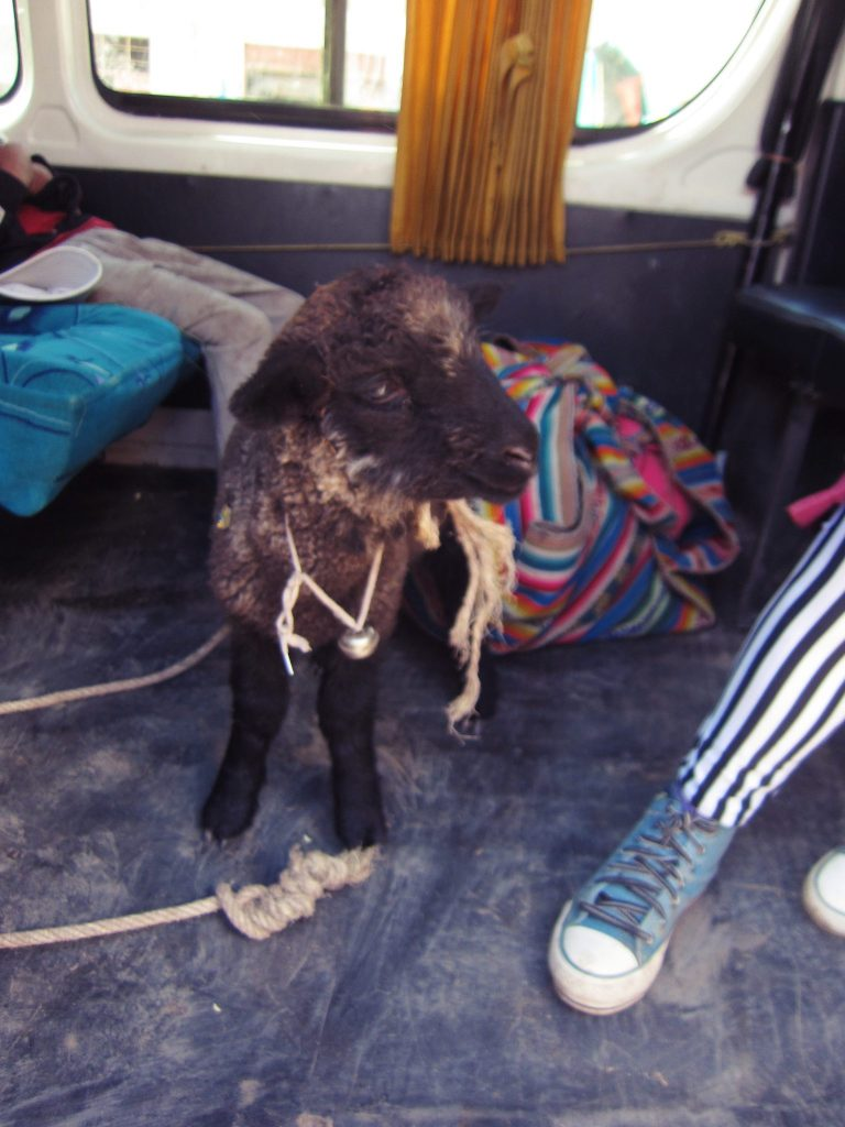 ペルー、アンデス、動物、羊