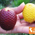 ペルーの果物 AGUAJE アグアヘ☆女性ホルモンを活発にするフルーツ