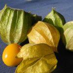 ペルーのおいしいスーパーフード☆果物ゴールデンベリー、ほおずきの効能!クスコの街の中に普通に生えていた Aguaymanto!