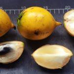 ジャングルのトロピカル・フルーツ Pouteria caimito ポウテリア・カイミートは、手でむいて食べると手が!栄養、効能、効果