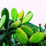 サボテンの超簡単レシピ!メキシコ、ペルーでよくあるウチワサボテンは、フルーツ Tuna としても、野菜としても健康によくおいしい!