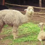 ペルー・クスコの隠れ観光スポット!アルパカが好きな人必見!アルパカの種類がいろいろ見れて知れる Manos de la Cominidad, Huayllarcocha