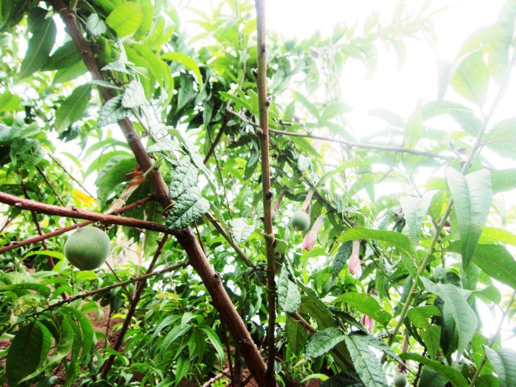 ペルー, 果物, フルーツ, Tumbo
