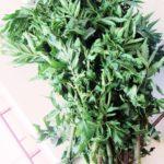 ペルーの薬草、黒いミント Huacatay は、とても健康に良く、ペルー料理では一般的なソースに使われるなくてはならない食材