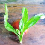 ペルー・ジャングルのパクチーはちょっと違う!パクチー好き必見!ジャングルのパクチー Sacha Culantro の栄養、効能、効果