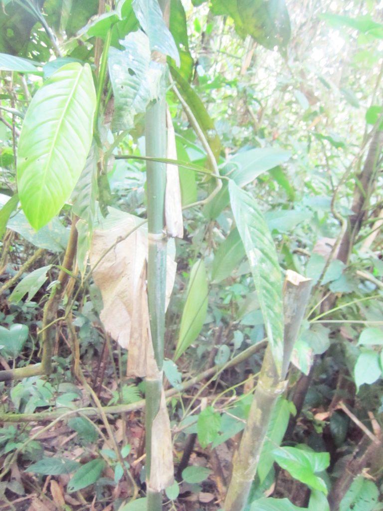 ペルー, ジャングル, 竹, 水, Agua de Paca