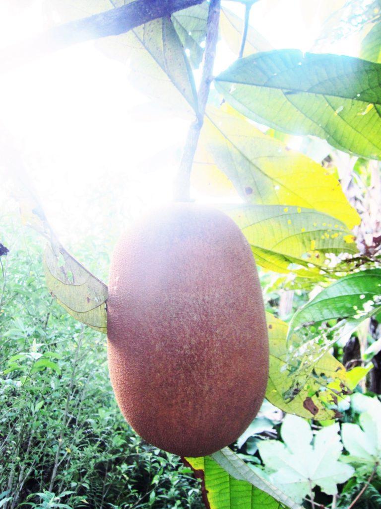 ペルー, ジャングル, フルーツ, 果物, Copoazú
