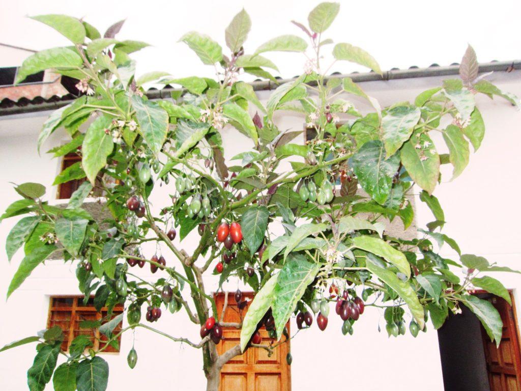 ペルー, 果物, フルーツ, トマト