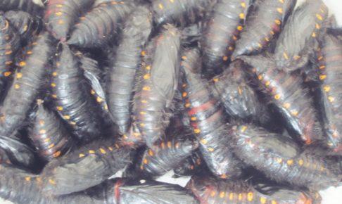 ペルー, クスコ, 昆虫食, 虫