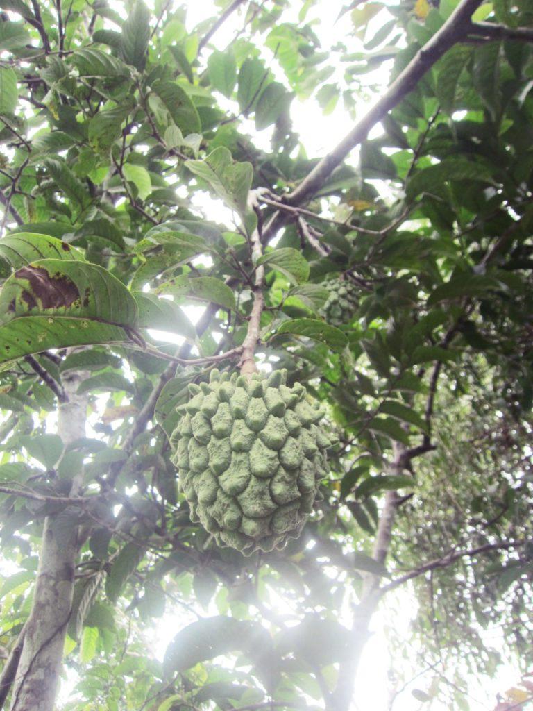 アマゾン, ジャングル, ペルー, フルーツ, 果物, Masasamba, 栄養, 効能, 効果