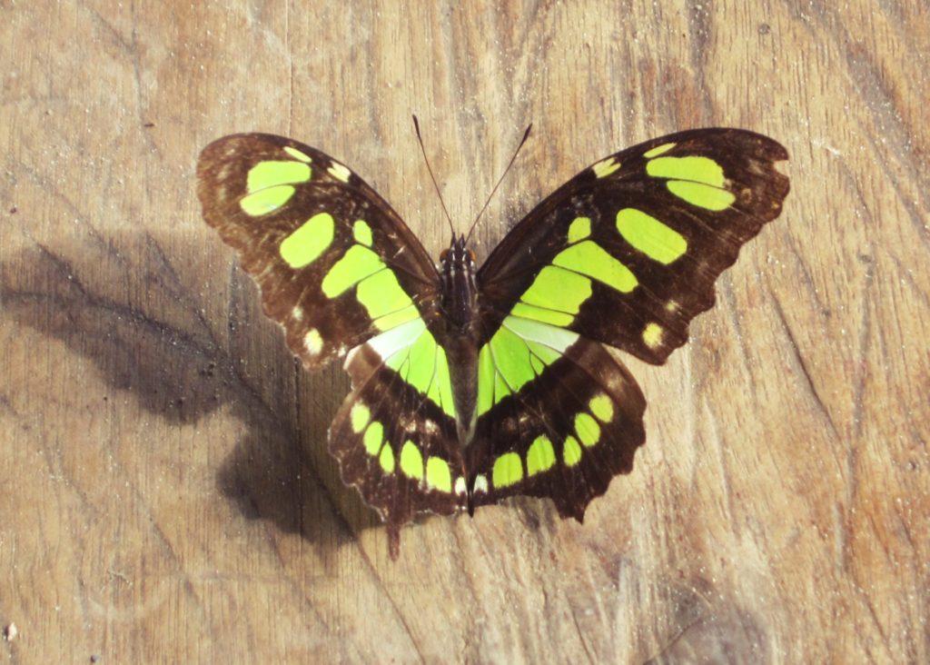 アマゾン, ジャングル, ペルー, マヌー, 国立公園, ツアー, 昆虫