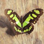 南米のジャングル、アマゾン熱帯雨林・マヌー国立公園ツアーで、見つけた昆虫たち