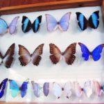 南米のジャングル、アマゾン熱帯雨林・マヌー国立公園 Chontachaka 村の昆虫標本館
