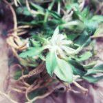 ペルー・アンデスでも親しまれている薬草 Valeriana バレリアーナのハーブ・ティー!効能、効果と気をつけるべき事