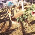 ペルー・クスコ県ウアンカーロのミストゥーラ Mistura (Feria) はアンデスの動物と触れ合える!