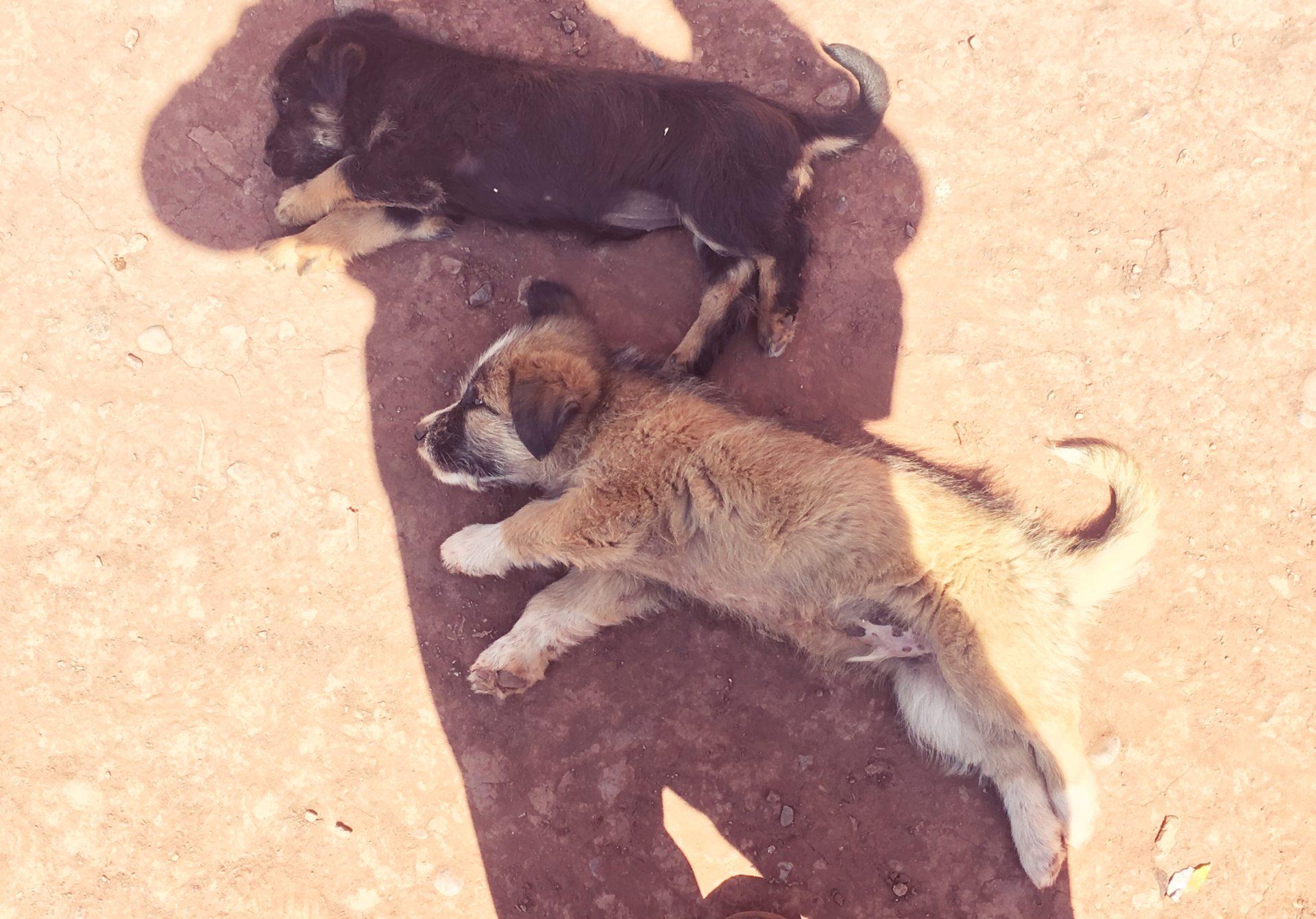 dog, 犬, ペルー, perro