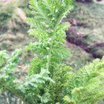ペルー・アンデスの薬草 Palma Real は、喉に良いハーブ・ティー