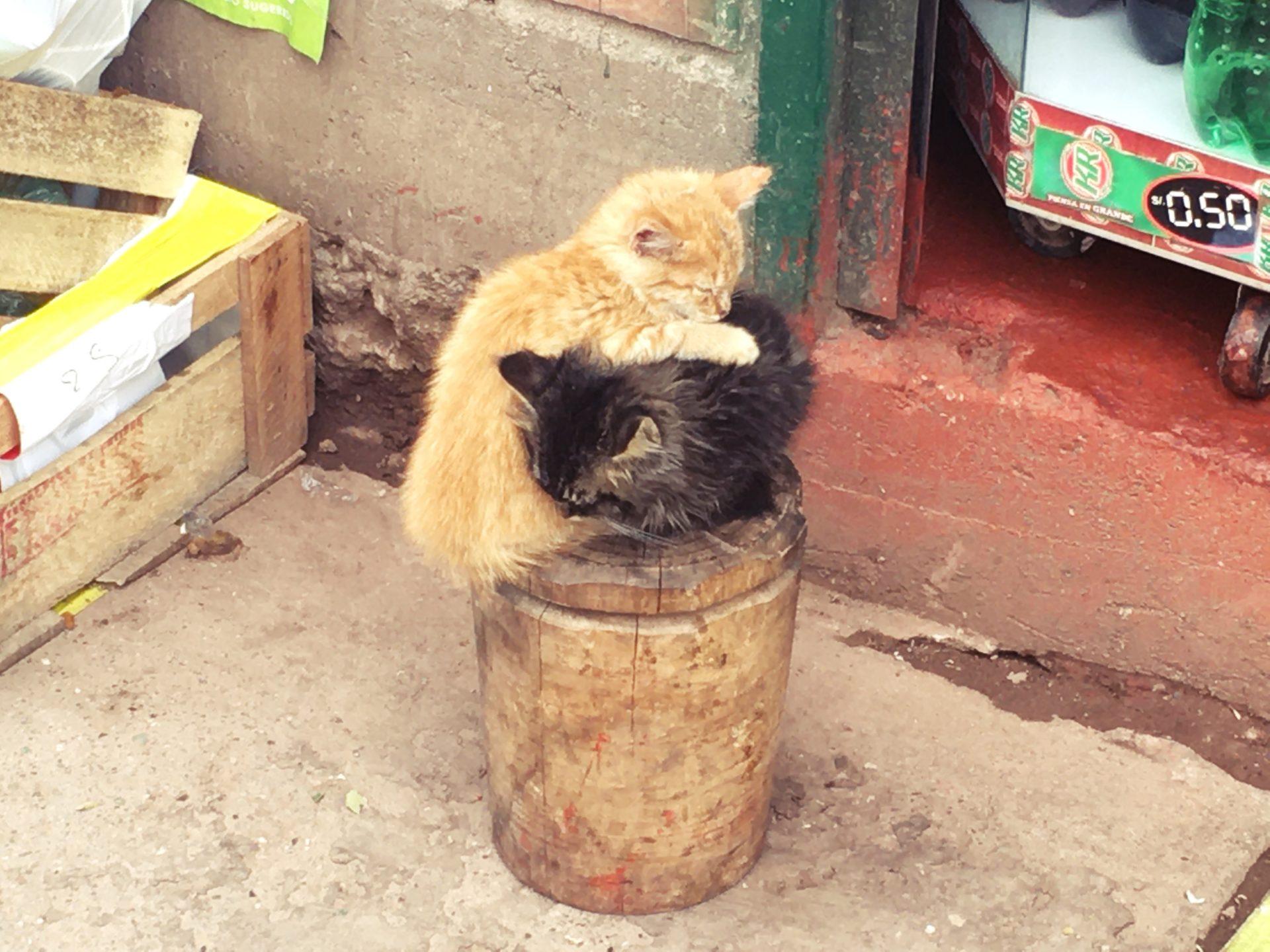 ペルー, cat, gato, 猫