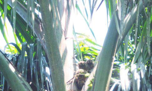 南米, ペルー, かわいい, アマゾン, ジャングル, ヨザル, 猿, ペット, Night monkey, Owl monkey