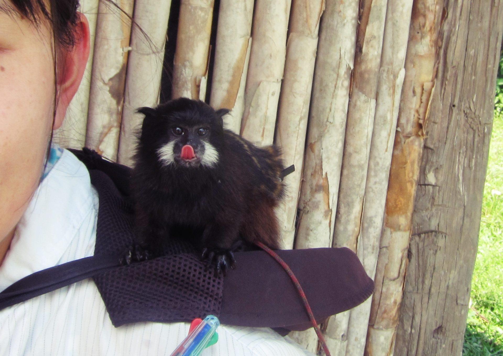 南米, ペルー, かわいい, アマゾン, ジャングル, セマダラタマリン, 猿, ペット, bebeleche, pichico