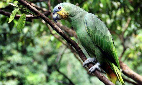 動物, 南米, ペルー, ジャングル, アマゾン, 言語, Awajún, アワフン