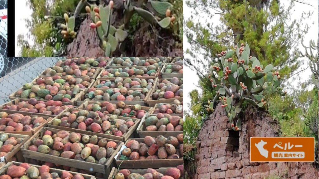 南米, ペルー, クスコ, アンデス, 季節, 果物, フルーツ, サボテン, tuna